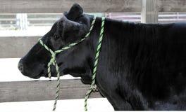 Vaca negra en la demostración de la feria del condado Imagenes de archivo