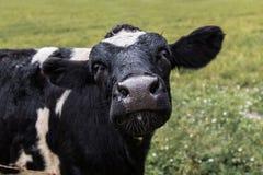 Vaca negra en la granja de la ciudad foto de archivo