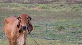 Vaca no campo, única vaca em um prado fotografia de stock