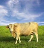 Vaca no campo Imagem de Stock Royalty Free