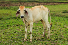 Vaca no campo Foto de Stock