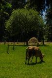 Vaca no campo Fotografia de Stock