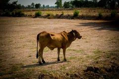 Vaca no campo Foto de Stock Royalty Free