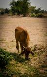 Vaca no campo Fotos de Stock
