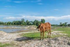 A vaca no campo após a colheita em 3Sudeste Asiático, Tailândia Imagens de Stock Royalty Free