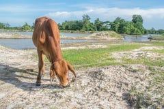 A vaca no campo após a colheita em 3Sudeste Asiático, Tailândia Fotografia de Stock Royalty Free