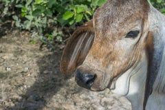 A vaca no campo após a colheita em 3Sudeste Asiático, Tailândia Fotografia de Stock