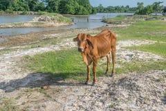 A vaca no campo após a colheita em 3Sudeste Asiático, Tailândia Foto de Stock