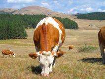 Vaca no campo da montanha imagens de stock royalty free