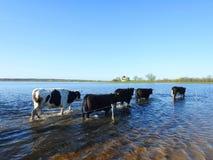 Vaca no campo de inundação, Lituânia fotos de stock