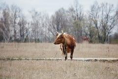 Vaca no campo em um dia nebuloso fotos de stock royalty free