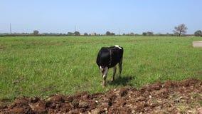 Vaca no campo filme