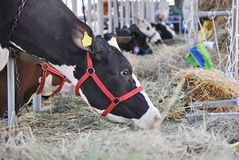 Vaca no celeiro Fotografia de Stock Royalty Free