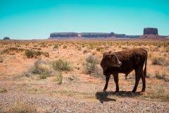 Vaca no deserto fotografia de stock