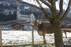 Vaca no dia de inverno de Suíça Imagem de Stock