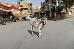 Vaca no meio de uma estrada transversaa fotos de stock
