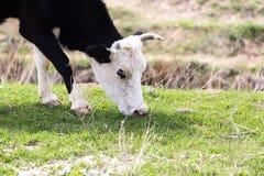 Vaca no pasto Fotografia de Stock Royalty Free