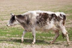Vaca no pasto Imagem de Stock