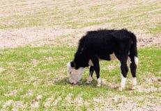 Vaca no pasto Fotografia de Stock