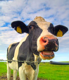 Vaca no pasto Foto de Stock Royalty Free
