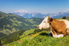 Vaca no pasto da montanha nos cumes Foto de Stock