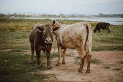 Vaca no pasto durante a manhã do outono Fotos de Stock Royalty Free