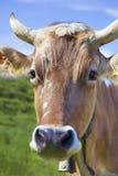Vaca no pasto verde Fotos de Stock Royalty Free