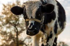 A vaca no prado Imagem de Stock Royalty Free