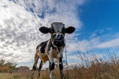 A vaca no prado Foto de Stock Royalty Free
