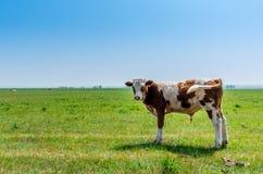 Vaca no prado Imagens de Stock Royalty Free
