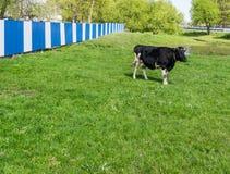 Vaca no prado Fotos de Stock Royalty Free
