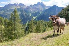 Vaca no prado alpino fotos de stock royalty free