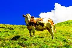 Vaca no prado verde nas montanhas de Tirol sul foto de stock royalty free