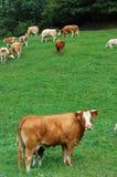 Vaca no primeiro plano Imagem de Stock Royalty Free