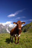 Vaca nos alpes Fotografia de Stock Royalty Free