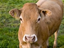 Vaca Nosy imagen de archivo