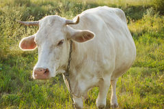 Vaca nova branca no campo Fotografia de Stock Royalty Free