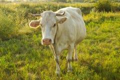 Vaca nova branca no campo Imagens de Stock