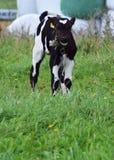 Vaca nova em uma exploração agrícola Fotos de Stock Royalty Free