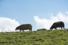 Vaca nova na grama verde Fotografia de Stock Royalty Free