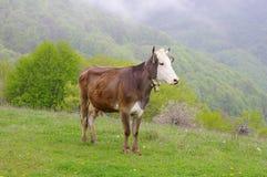 Vaca nova no prado da montanha Imagens de Stock Royalty Free