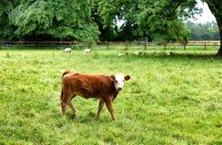Vaca nova que come a grama ao olhar para a frente Fotografia de Stock Royalty Free