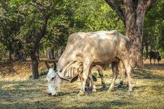 Vaca nova que come a grama seca Fotografia de Stock Royalty Free