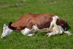 Vaca nova que encontra-se na grama Imagens de Stock