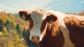 Vaca nova que olha video estoque