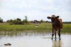 Vaca nova sedento Imagem de Stock Royalty Free