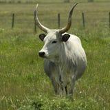 Vaca original Fotografia de Stock