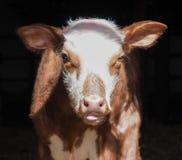 Vaca ou vitela adorável do bebê, agrícola fotografia de stock royalty free