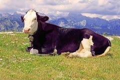 Vaca púrpura foto de archivo
