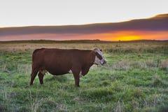 Vaca Paisaje de Pampa, Foto de archivo libre de regalías